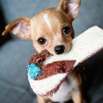 Video: Un Chihuahua versus una bolsa de comida