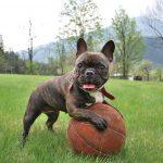Video: Bulldog Francés hace un escándalo para ir al parque